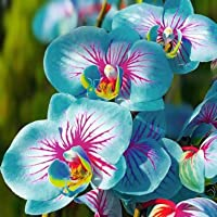 TOYHEART 100 Piezas De Semillas De Flores De Primera Calidad, Semillas De Phalaenopsis, Plantas Aromáticas De Cymbidium…