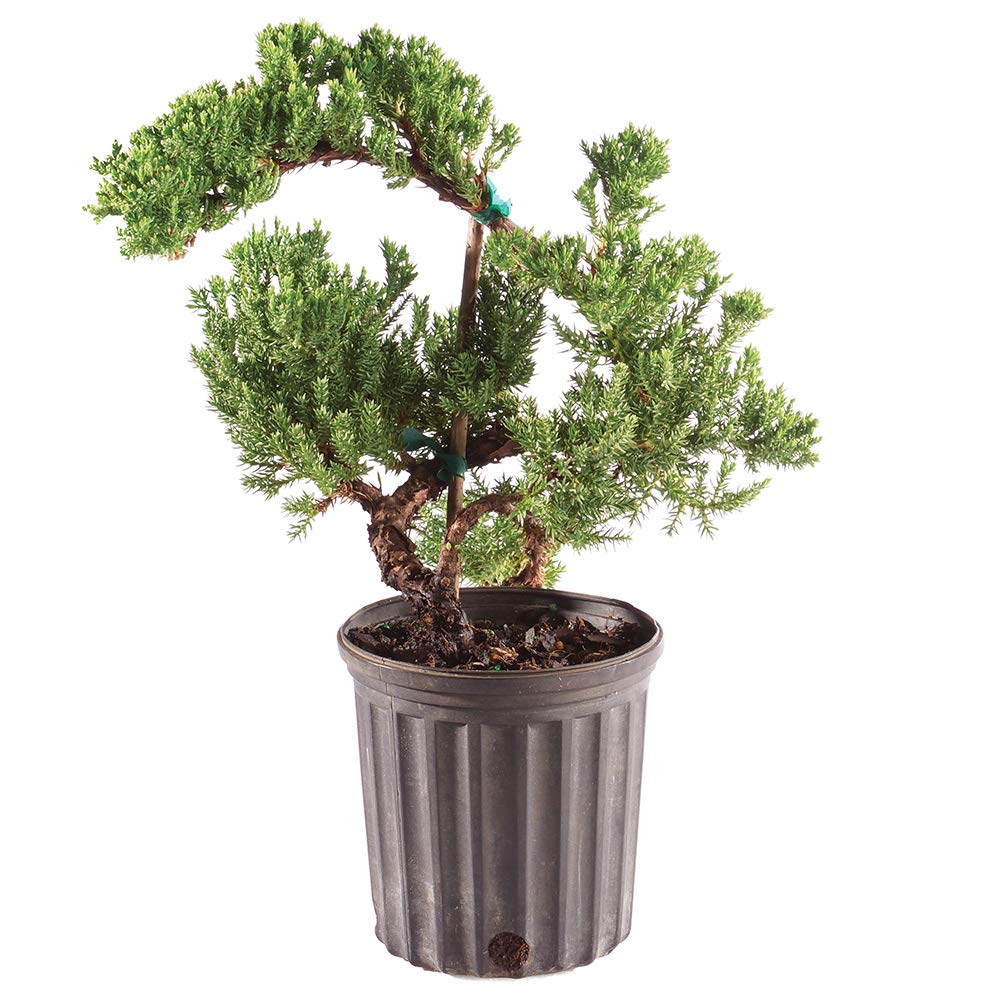 Brussel's Bonsai Live Green Mound Juniper Outdoor Bonsai Tree - 3 Years Old 4'' to 6'' Tall with Plastic Grower Pot, Small,