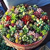 AUTFIT Misto 100 Semi Succulente Piante Lithops Pseudotruncatella Semi Cactus e Piante Grasse per Bonsai, Balcone, Casa, Giardino Ornamento