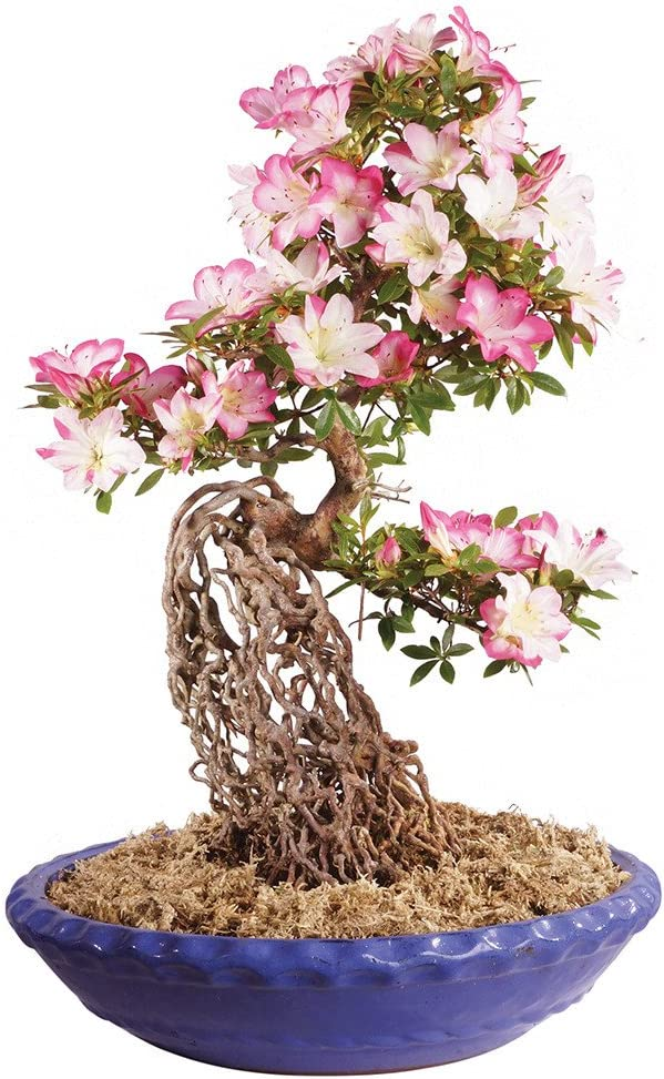 Amazon Com Brussel S Live Azalea Specimen Outdoor Bonsai Tree 35 Years Old 18 Tall With Decorative Container Garden Outdoor