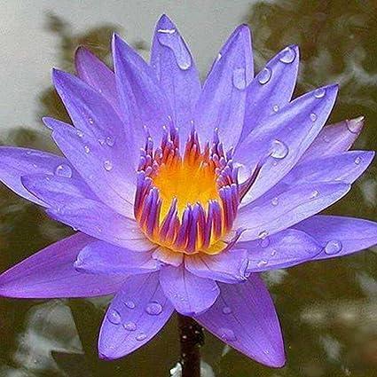 Amazoncom Ocaler10pcsbag Lotus Flower Lotus Seeds Aquatic Plants