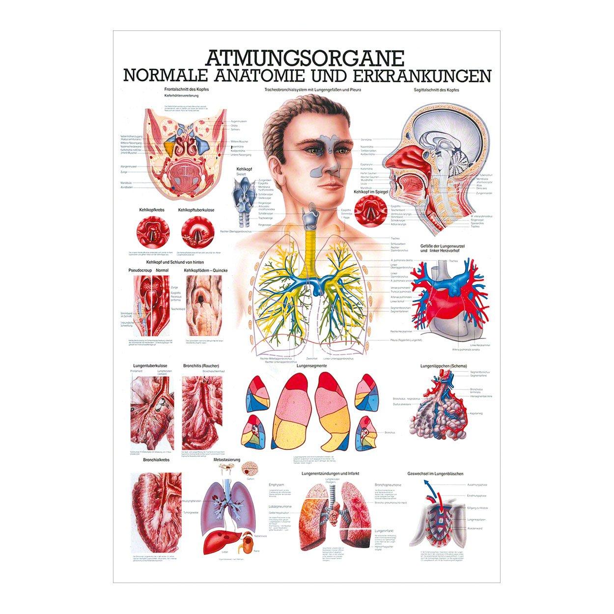 Atmungsorgane Mini-Poster Anatomie 34x24 cm medizinische Lehrmittel ...