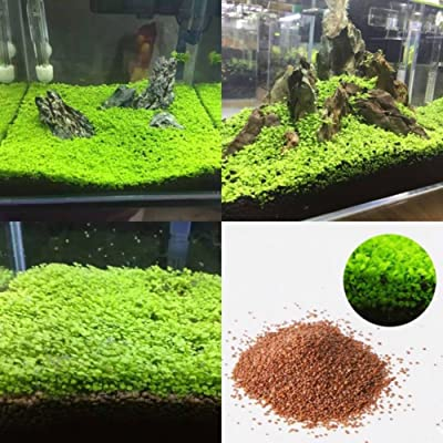 wpOP59NE Fish Tank Aquarium Plant Seeds Aquatic Water Grass Decor Garden Foreground Plant - L Plant Seeds : Garden & Outdoor
