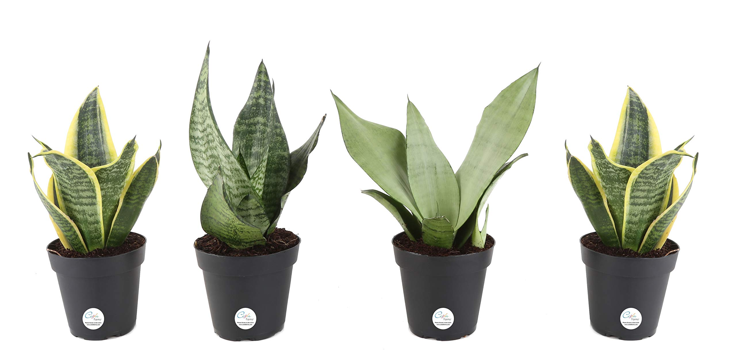 Costa Farms Snake Plant, Mother-in-Law's Tongue, Sansevieria, 4-inch Grow Pot, Easy to Grow, 4-Pack