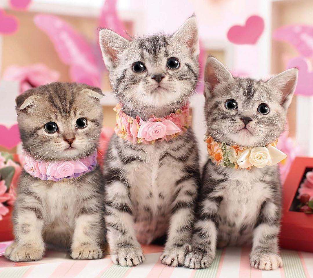 猫 アメリカンショートヘアーとスコティッシュ・フォールの子猫 QHD(1080×960)スマホ 壁紙・待ち受け