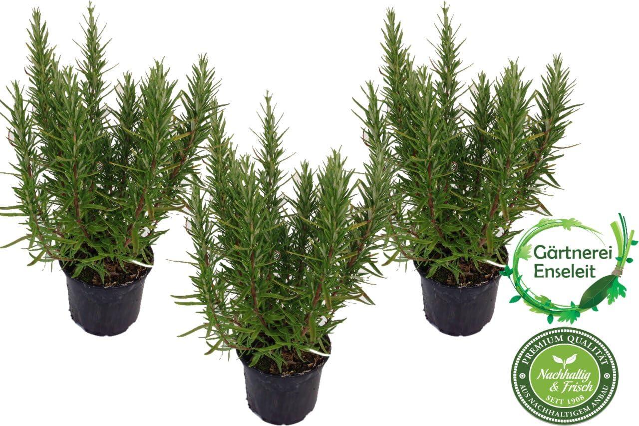 Rosmarin im Set 5 Pflanzen frische Pflanzen in bester Qualität