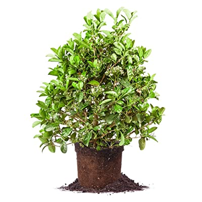 Sweet Viburnum - Size: 3 Gallon, Live Plant, Includes Special Blend Fertilizer & Planting Guide : Garden & Outdoor