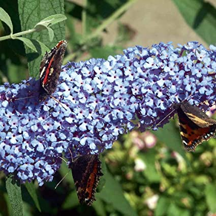Amazon.com: Buzz Sky Blue Butterfly Bush – Compact/Short ...