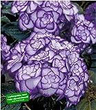 "BALDUR-Garten Winterharte Freiland-Hortensie""Miss Saori blue"" 1 Pflanze Hydrangea"