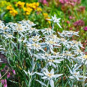 Berühmt 150 Samen Alpen-Edelweiß (Leontopodium alpinum) Edelweiss: Amazon &BN_66