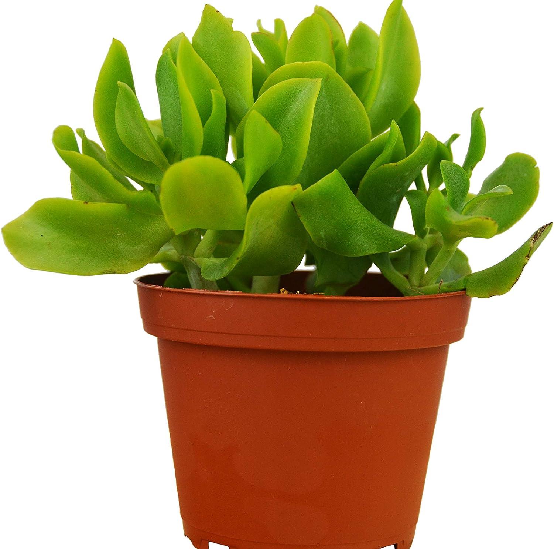 Amazon Com Crassula Arborescens Undulatifolia Ripple Jade