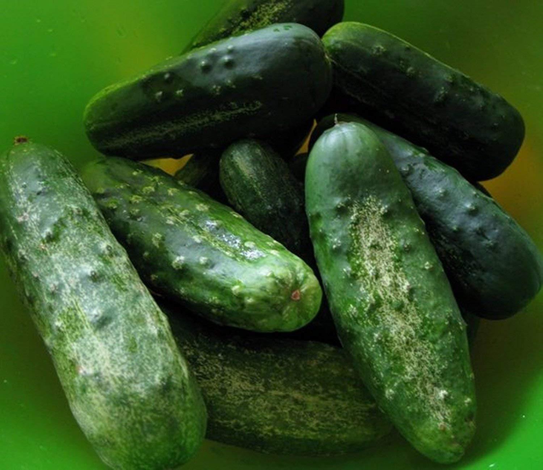 PLAT firma de semillas de hortalizas semillas de pepino Boston decapado de cultivo ecológico de Estados Unidos de la herencia no GMO