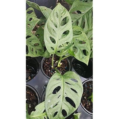 Monstera Friedrichstalii Swiss Cheese Live Vine Plant 1 Plant 2 Leaves 4 Inchi PotAs 004 : Garden & Outdoor