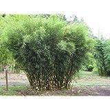 extrem bambus fargesia winterjoy 1 pflanze 60 80 cm. Black Bedroom Furniture Sets. Home Design Ideas