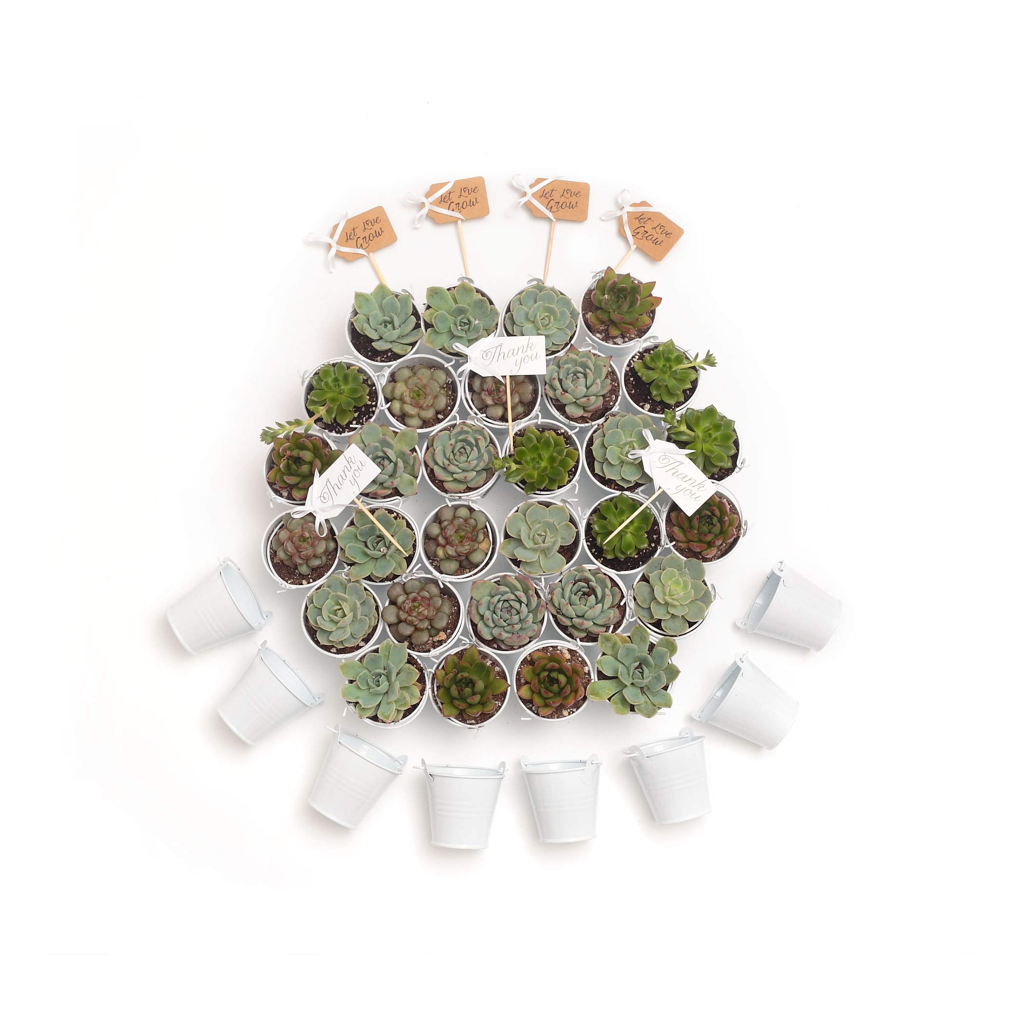 2 in. Wedding Event Rosette Succulents with White Metal Pails and Thank You Tags (60) by Succulent Source (Image #4)