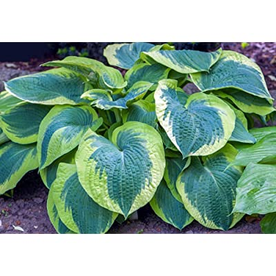American Halo Hosta - Shade Lover - White Flowers - Live Plant - Quart Pot : Hosta Plants : Garden & Outdoor