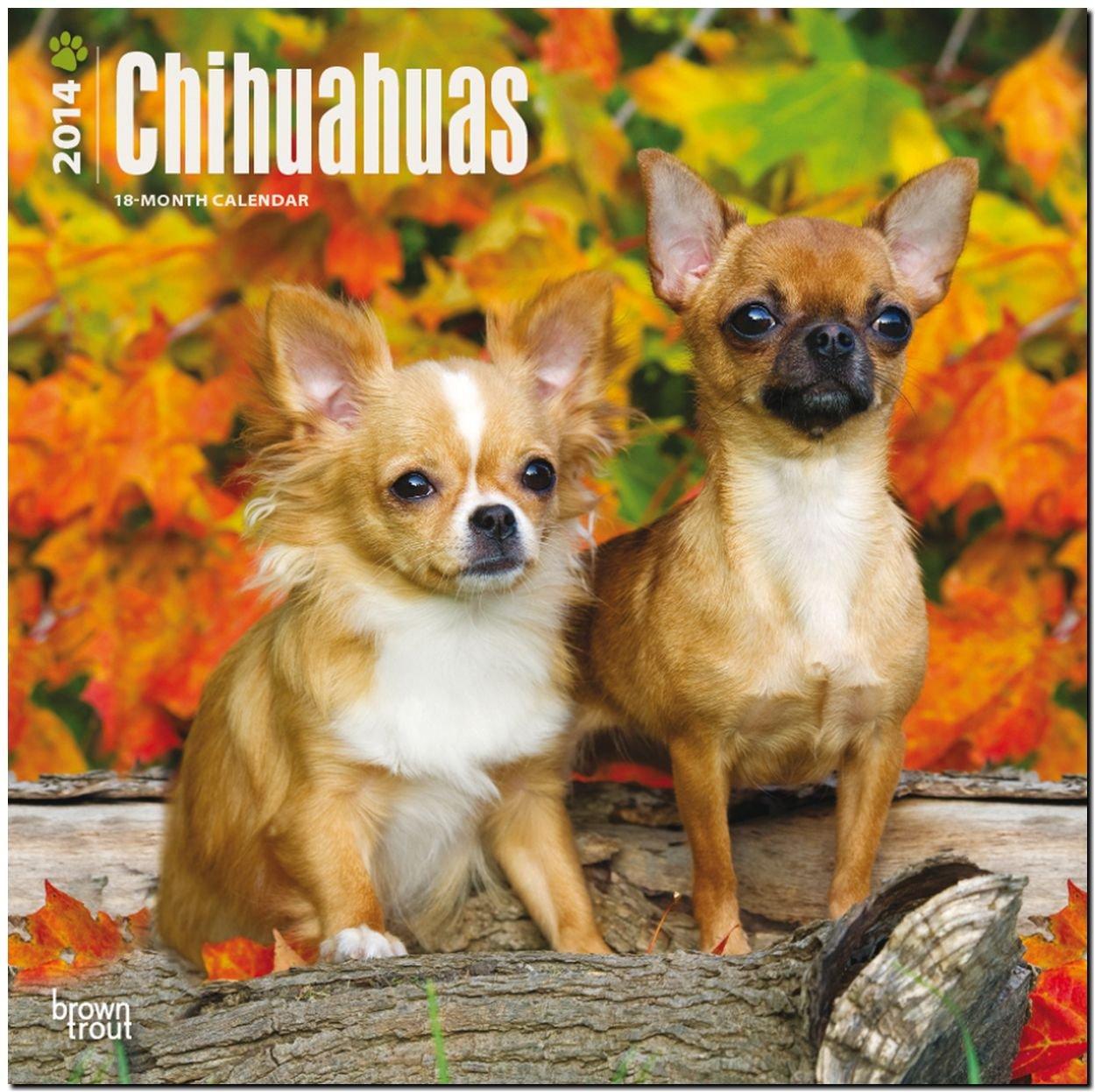 Chihuahuas 2014: Original BrownTrout-Kalender [Mehrsprachig] [Kalender]