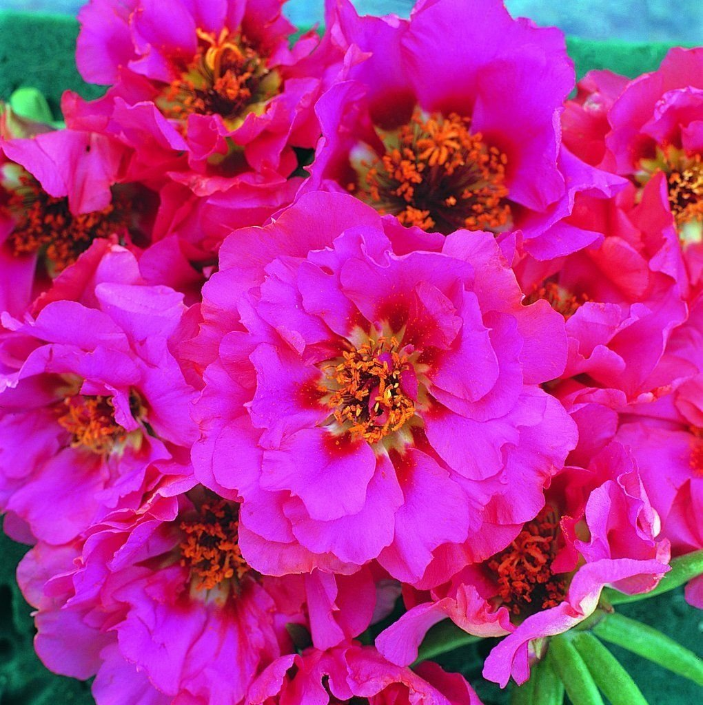50 Seeds - Portulaca Portulaca Extra Rose Multi pelleted Spring Seeds SVI