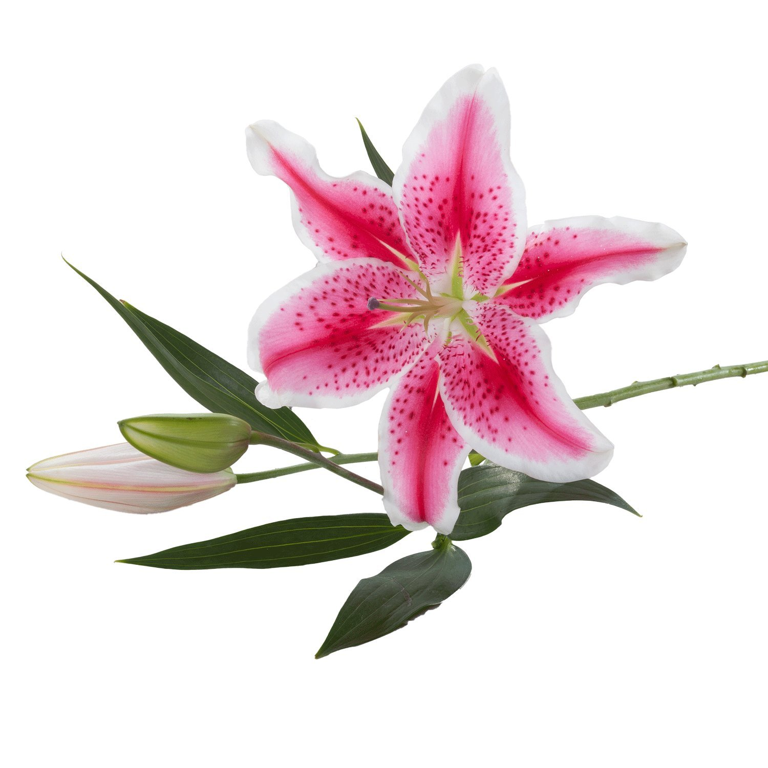 Oriental Lilies | Stargazer - 40 Stem Count by Flower Farm Shop