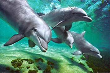 dolphins underwater poster ocean photo poster print 36x24 poster print 36x24 poster print