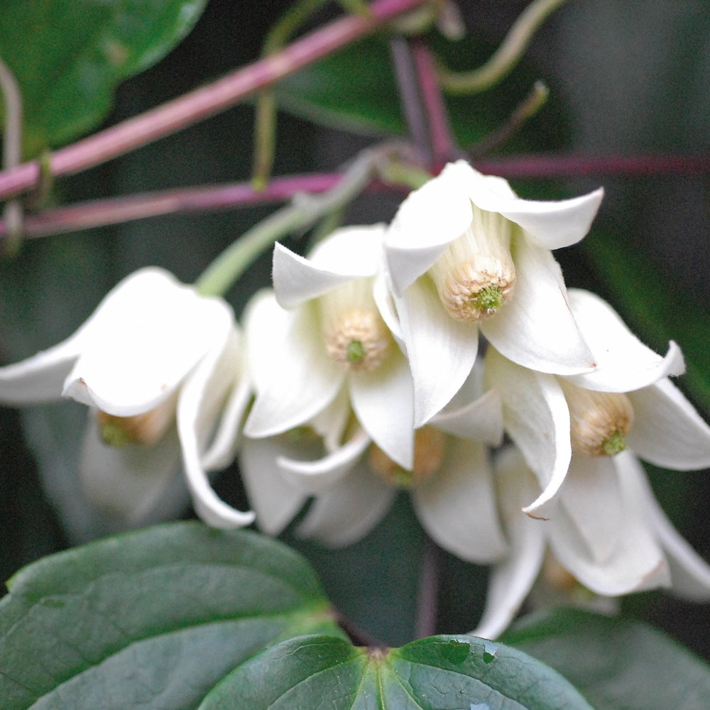 Climbing Clematis Plant Winter Flowering Evergreen for Outdoors Producing White Bell Shaped Flowers, 1 x Clematis Winter Beauty Plant in 7cm Pot by Thompson & Morgan