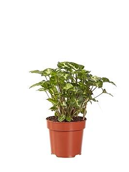 Piante Da Appartamento Syngonium.Pianta D Appartamento Da Botanicly Syngonium Pixi Altezza 20