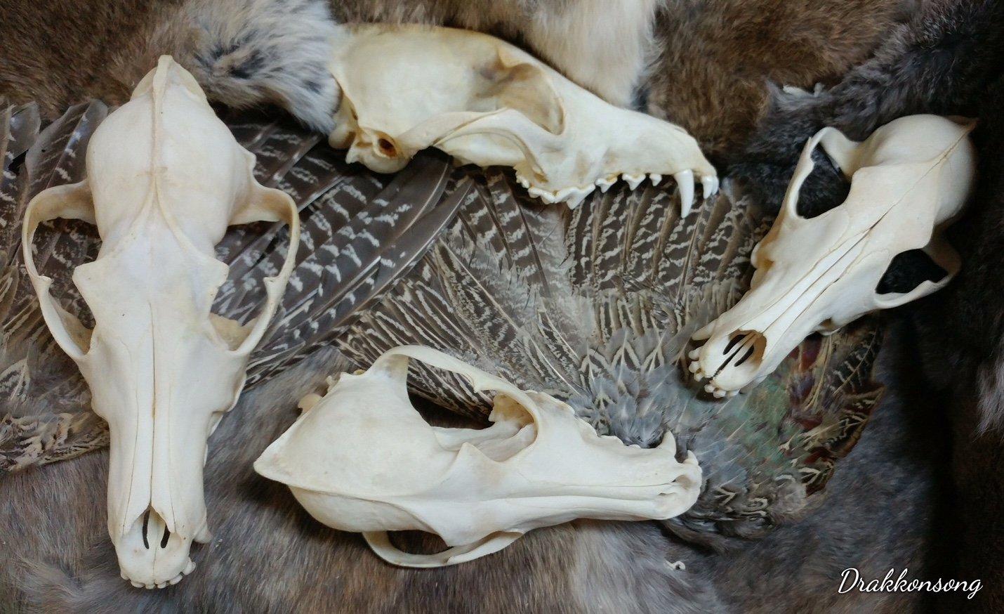 Real Bone Coyote Skull Taxidermy - Top Half Only + Rabbit Pelt