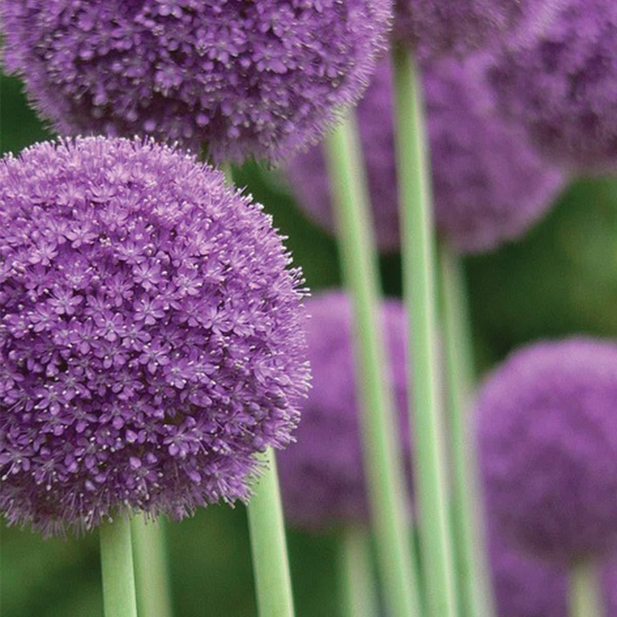 Burpee Allium Giganteum   3 Large Flowering Fall Bulbs for Planting, Purple