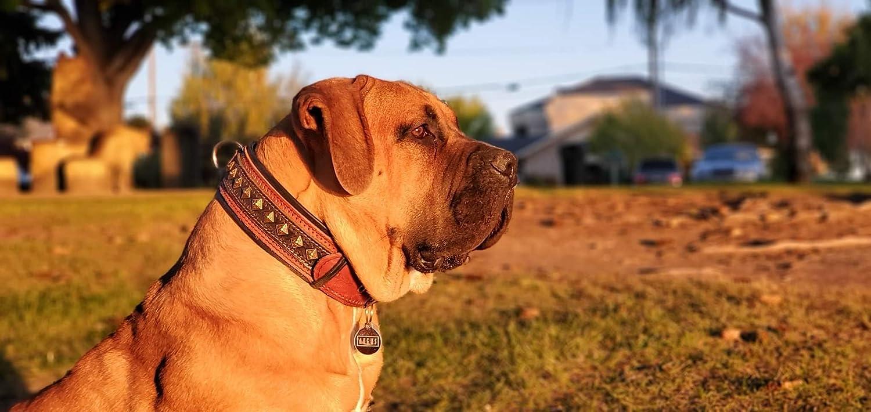 Bestia Balteus Collar de Perro con Tachuelas de Cuero ...