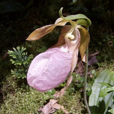 Pink Lady's Slipper - Orchid - Rare Flower Seeds (200) : Garden & Outdoor