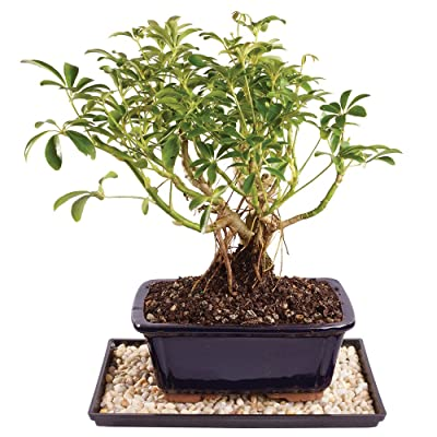 "Brussel's Live Dwarf Hawaiian Umbrella Indoor Bonsai Tree - 4 Years Old; 8"" to 10"" Tall with Decorative Container, Humidity Tray & Deco Rock: Garden & Outdoor"
