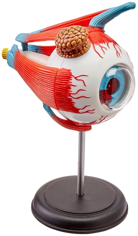 Amazon.com: TEDCO Human Anatomy - Eyeball Anatomy Model: Toys & Games