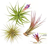 TDG The Drunken Gnome Tillandsia Air Plants Assorted Variety Pack, 3 Medium