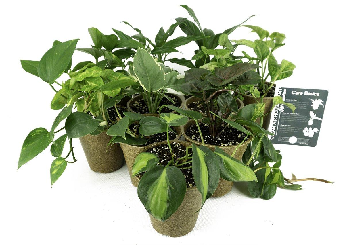 Clean Air Plant in Eco-Friendly Pot - Pothos by Josh's Frogs (Image #7)
