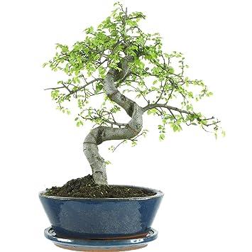 Chinesische Ulme, Bonsai, 10 Jahre, 36cm: Amazon.de: Garten