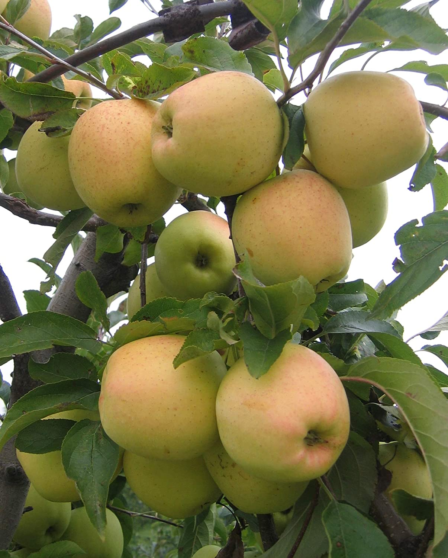 Golden Delicious Apple Tree - Live Plant Shipped 2-3 Feet Tall by DAS Farms (No California)