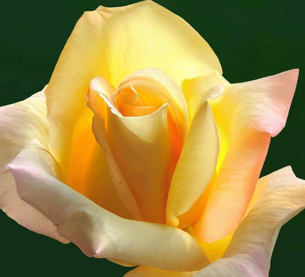 Rosa Bush Rose Hybrid Tea 'PEACE' Plant Imberhorne Lane Nursery