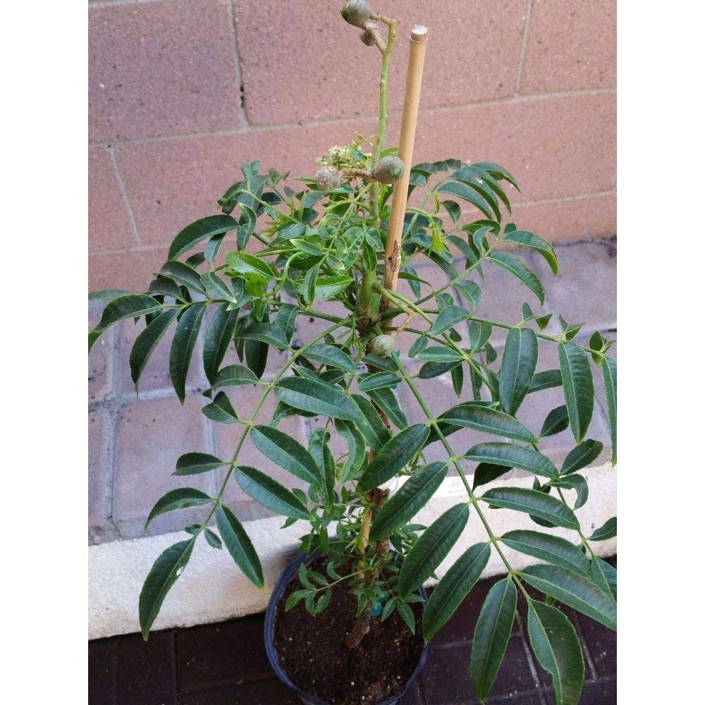 Spondias Dulcis Tropical Fruit Tree 32''-36'' Height in 3 Gallon Pot #BS1 by iniloplant (Image #3)