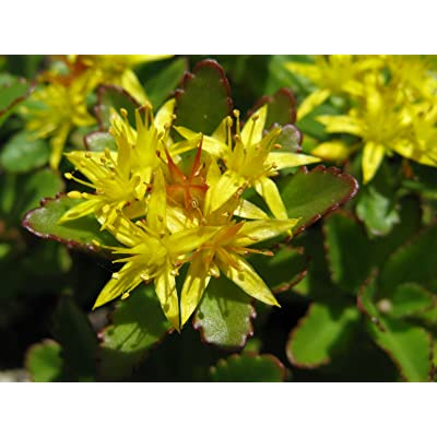 Sedum Aizoon Seeds, Stonecrop (Phedimus), beautiful groundcover for lightly shaded areas (100) : Garden & Outdoor