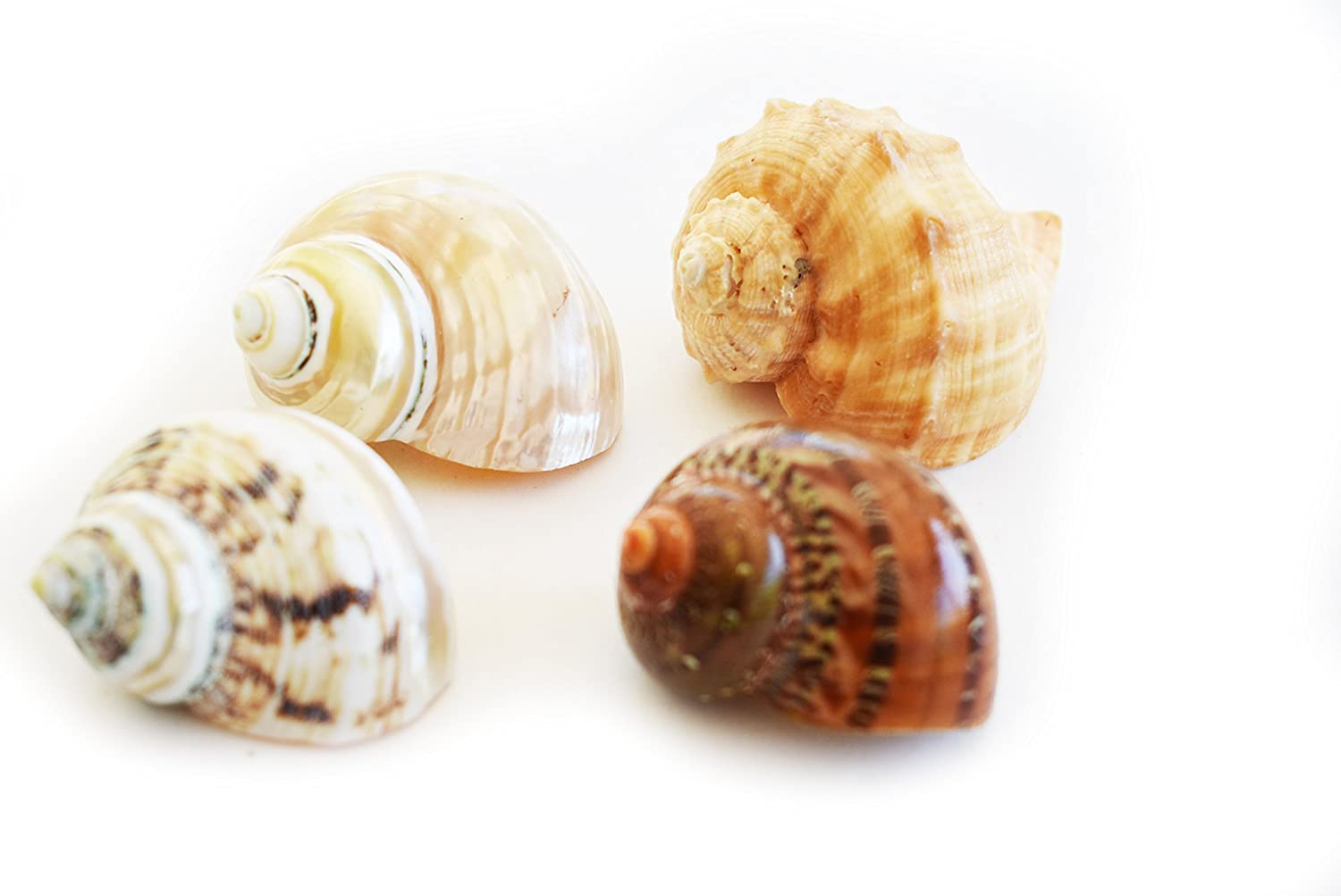 Florida Shells and Gifts Inc. 4 Large Shell Hermit Crab Changing Set - Select Shells - Large 1-1 1/2+ opening - Turbo and Conch Shells