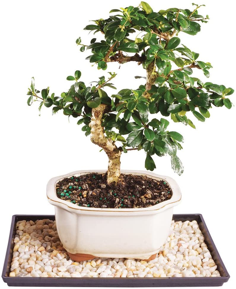Amazon Com Brussel S Live Fukien Tea Indoor Bonsai Tree 7 Years Old 8 To 12 Tall With Decorative Container Humidity Tray Deco Rock Garden Outdoor