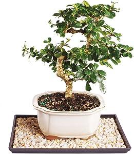 Brussel's Live Fukien Tea Indoor Bonsai Tree - 7 Years Old; 8