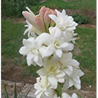 Kraft Seeds Rajnighandha/Tube Rose Flower Bulbs (Pack of 10)