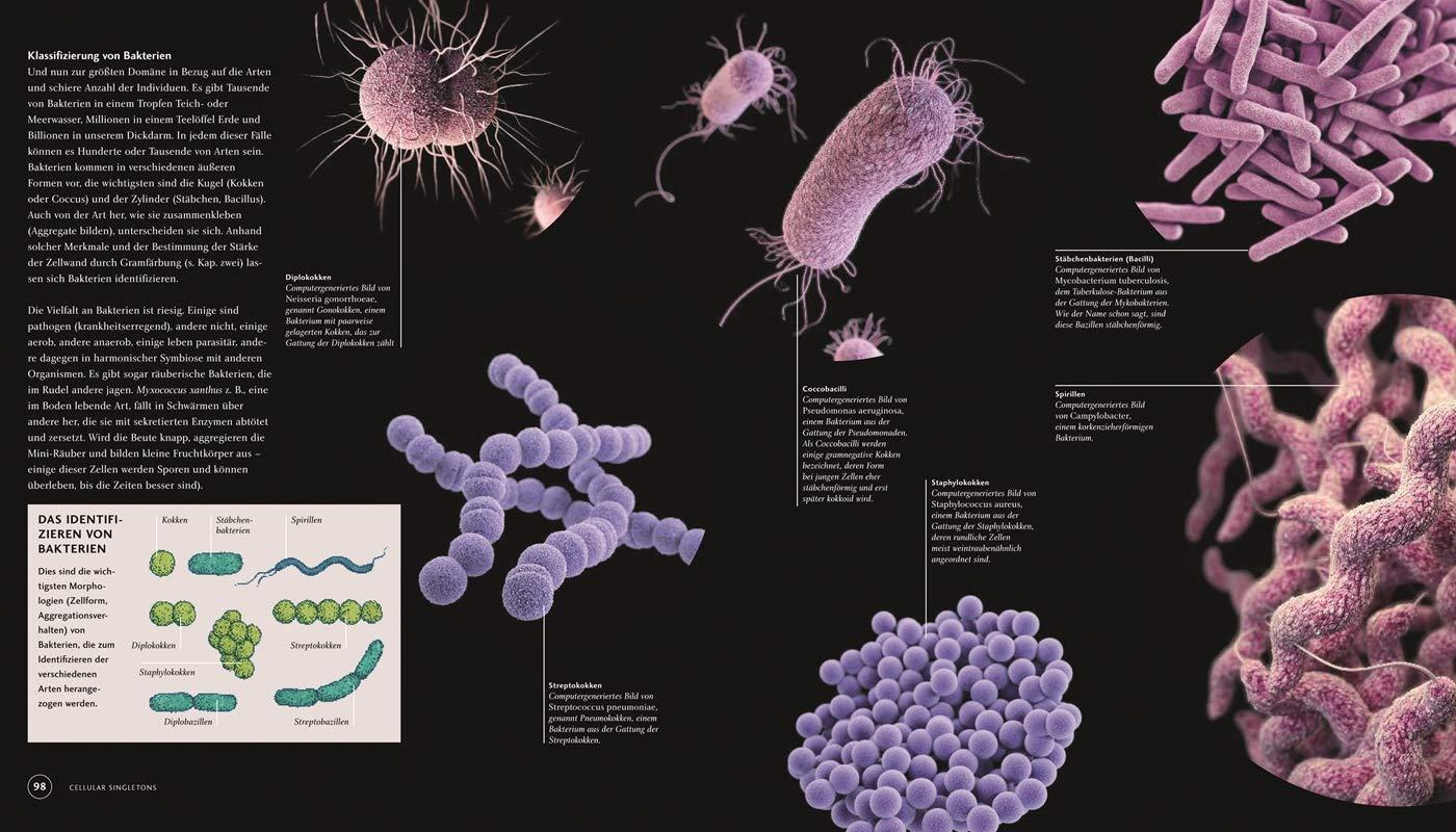 baktérium kokken