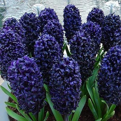 Airrais 50Pcs Hyacinth Seeds Colorful Bulb Flower Plants Seeds Home Garden DIY Plants : Garden & Outdoor