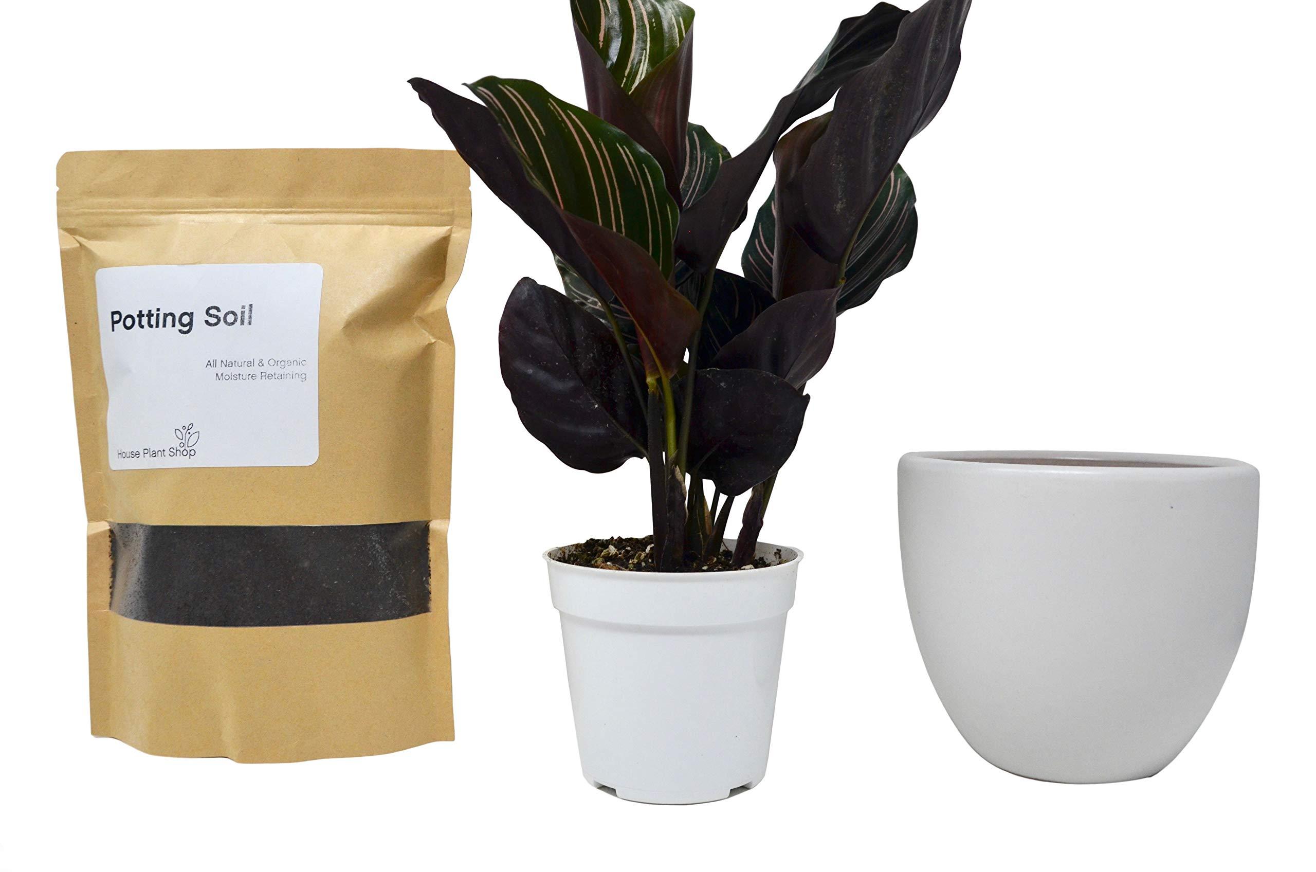 Calathea Ornata Kit with Ceramic Pot and Soil/Live House Plant / 6'' White Ceramic Pot