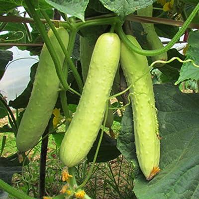 wpOP59NE 20Pcs White Cucumber Seeds Cucumis Sativus Vegetable Fruit Home Garden Plant Plant Seeds : Garden & Outdoor