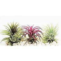 Plantas de aire Tillandsia x 3 - Ionantha Rojo, Verde y Rubra - Planta viva para terrario, vivario, decoración de la…