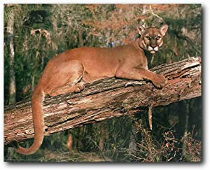 Wild Animal Wall Decor Florida Panther Big Cat Picture Art Print Poster (16x20)