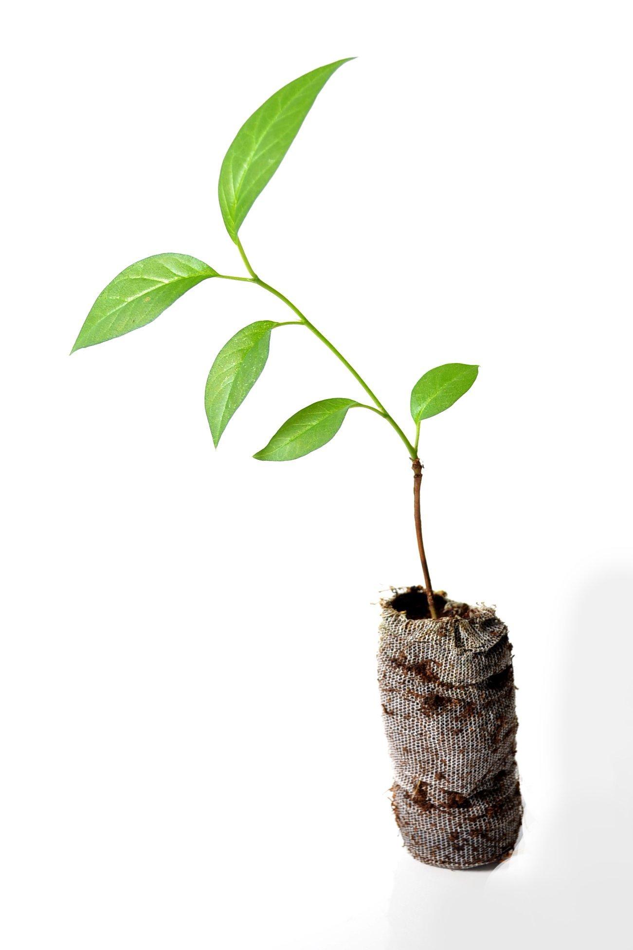 TreesAgain Lot of 3 Osage Orange Tree - Maclura pomifera - starter plugs (See State Restrictions)